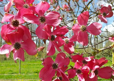 Red Florida Dogwood