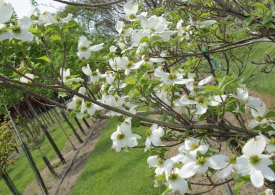 White Florida Dogwood