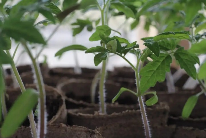 transplanting tomatoes for better roots