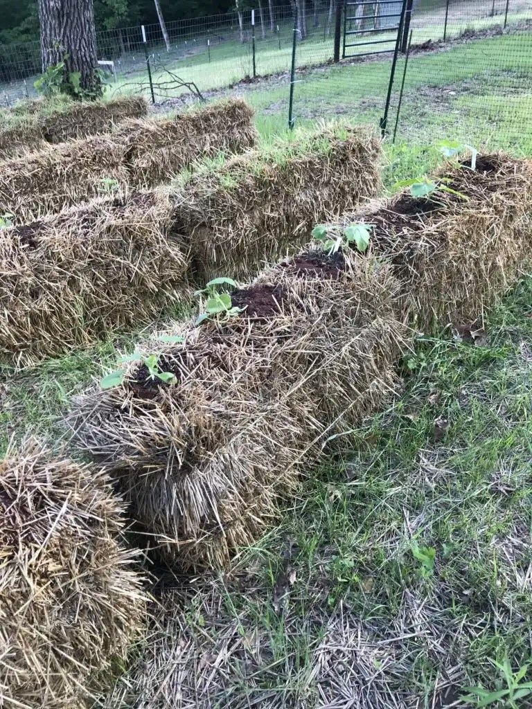 Straw bales need to be conditioned to use for vegetable gardening