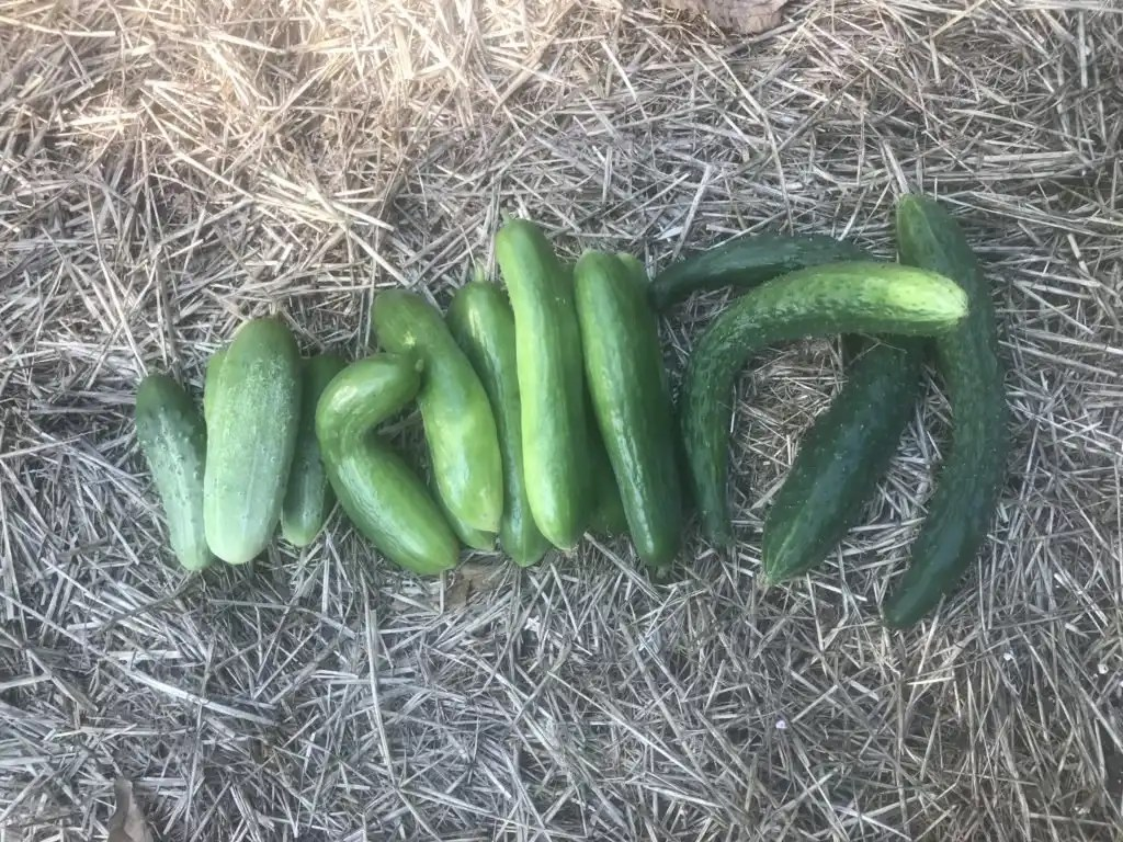 Cucumbers are fun and easy to grow
