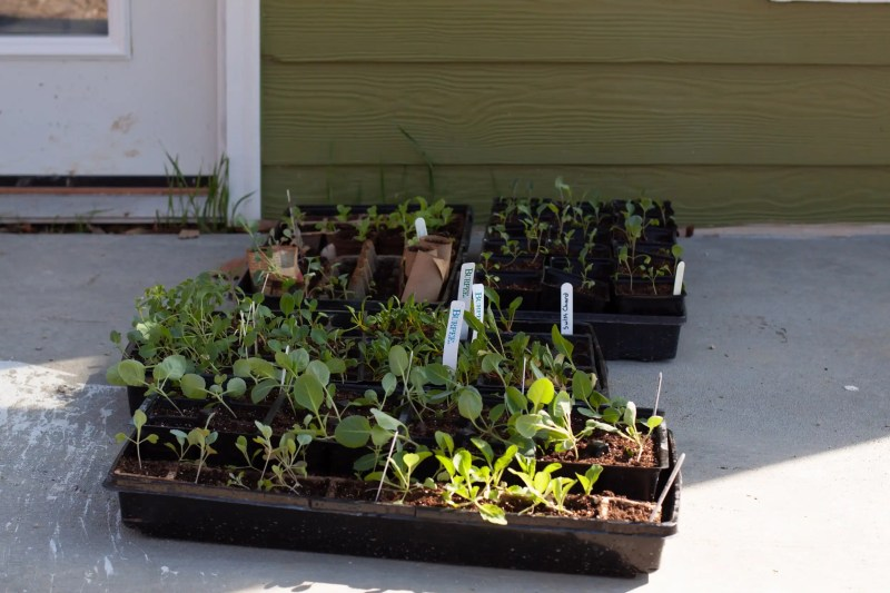 It's easy to harden off seedlings