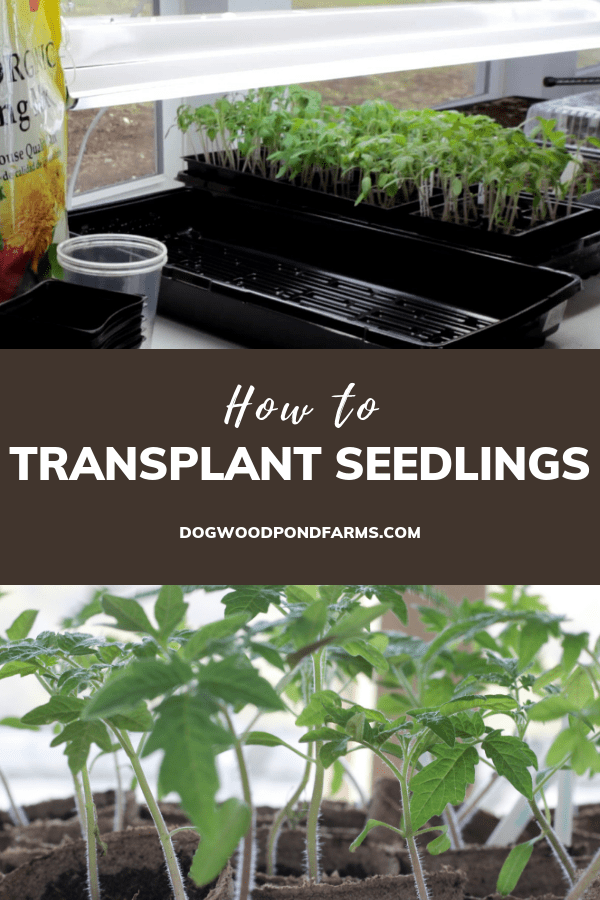 Transplant your seedlings to keep them healthy and strong.