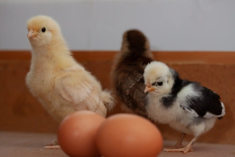 Chicks are fun and easy to raise