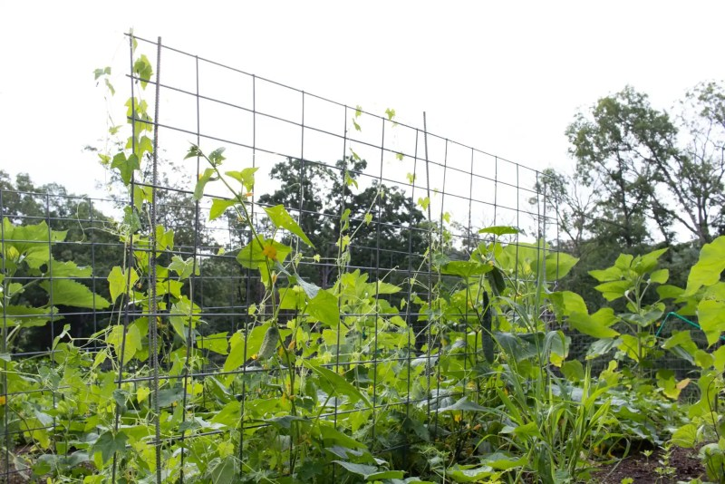 Cucumbers spread out on a trellis in the garden