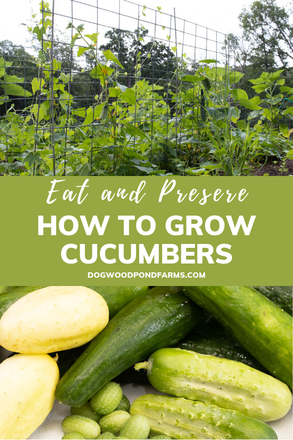 Cucumbers for Eating and Preserving