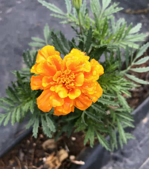 An orange marigold