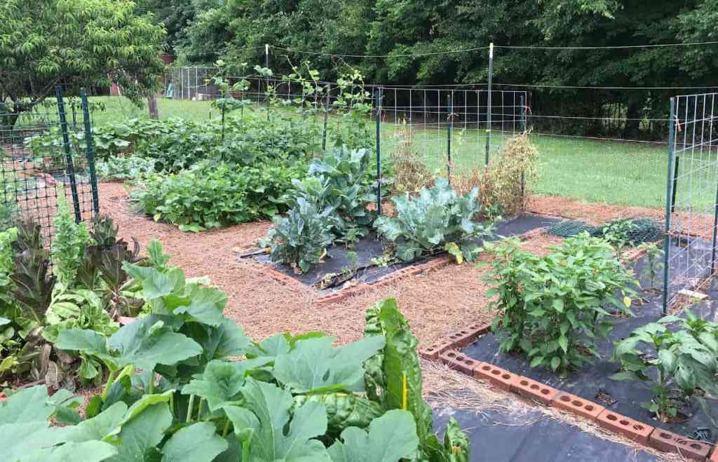 A raised bed garden during the heat of summer.