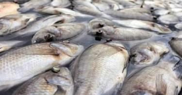 Gabon, Découverte De Centaines ,poissons Morts ,côtes De Plusieurs, Villages
