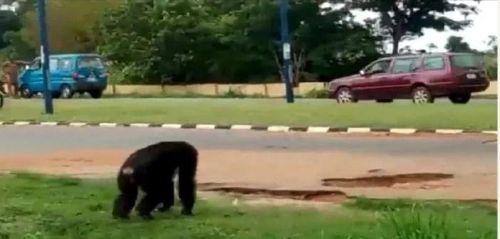 Nigeria, Un Gorille ,échappé, Zoo ,panique ,vidéo