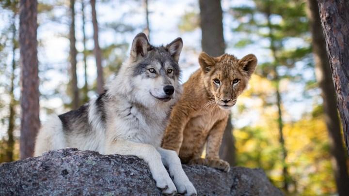 Le Loup et le lion – Une amitié entre deux animaux sauvages