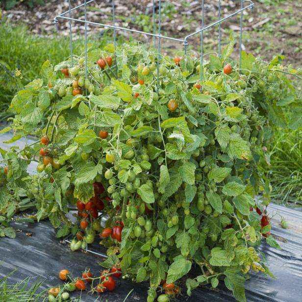 image4-50 | Как и зачем нужно обрезать помидоры