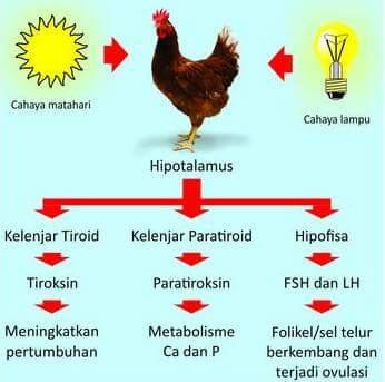 Cara Meningkatkan Hormon Pertumbuhan Dan Reproduksi Pada Ayam Jual Peralatan Kandang Ayam Jual Kandang Baterai Murah Jual Kandang Ayam Petelur Jual Keranjang Ayam Murah