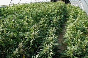 Image credit: http://futurepocket.com/wp-content/uploads/2011/02/marijuana_1.jpg