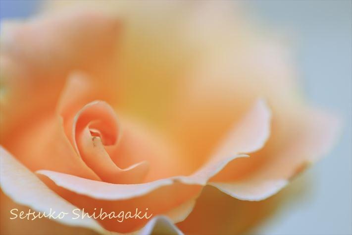 淡いサーモンオレンジのバラ