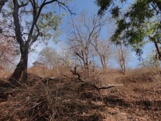 taman nasional baluran banyuwangi, afrika-nya pulau jawa (68)