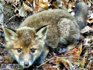 Fox Cub in Dolgellau
