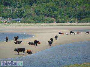 Cows on the Mawddach