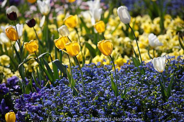 Bunte Blumenfelder Frhlingsblten blaugelbe Flora Foto