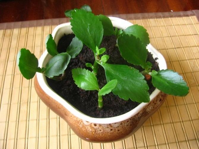Как самостоятельно пересадить каланхоэ, чтобы растение принялось и пошло в рост? Можно ли пересаживать цветущий каланхоэ после покупки.
