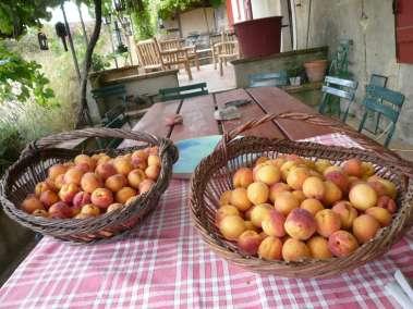 Photos - Abricots du domaine du Viala