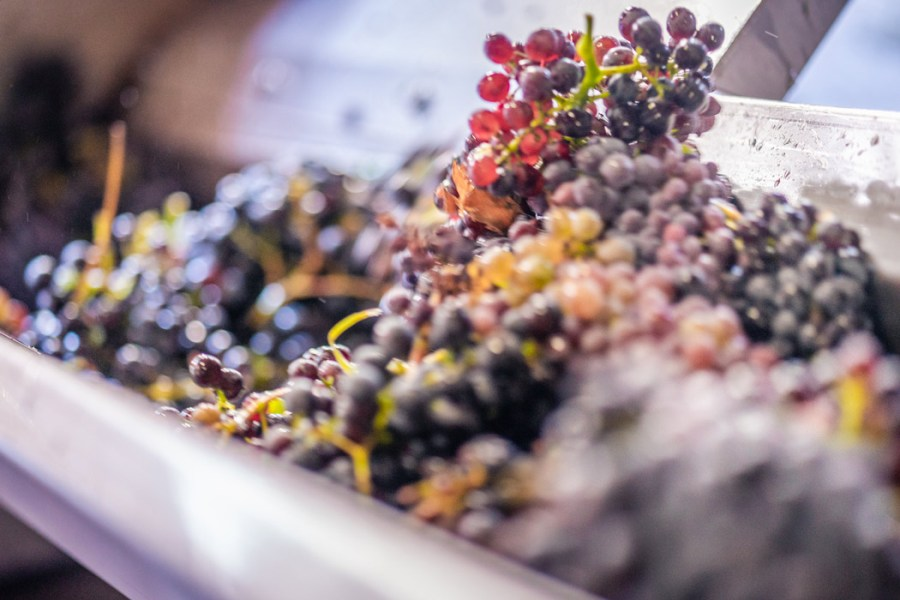 Raisin vin cinsault cote du rhone