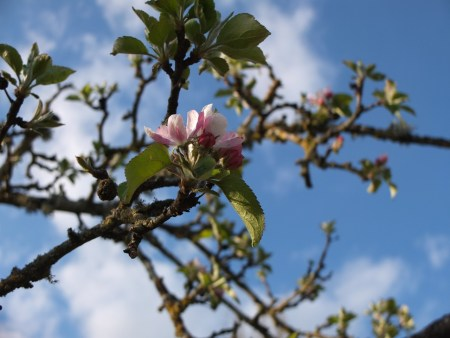 Blossom in Orchard