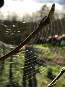 Tree Bud & Spider's Web