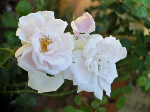 Rose Verger