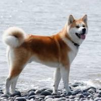 Акиту-ину: любимец или опасный зверь?