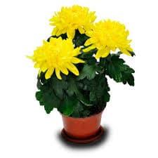 купить хризантему минск