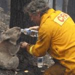 Drinking koala