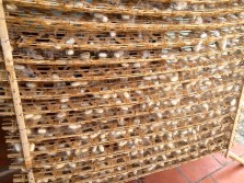 Trays of silkworm cocoons