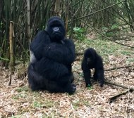 Silverback with one of his babies. Don't mess