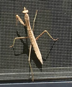 A mantis on our screen