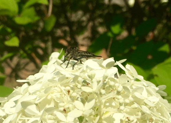 A robber fly in ambush