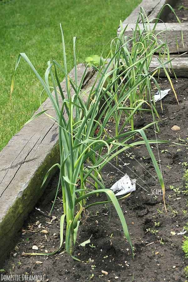 Garlic Closeup