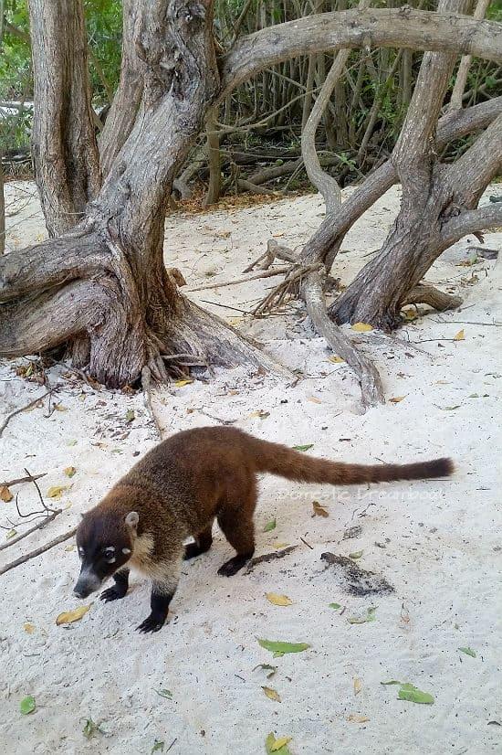 Coati on the sandy beach - Riviera Maya vacation