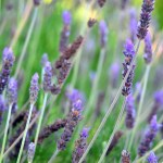Harvesting Fresh Lavender for Aromatherapy and Potpourri