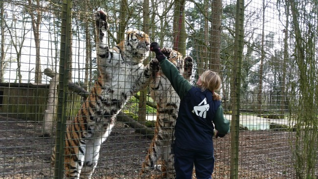 feeding the tigers port lympne animal reserve kent camping
