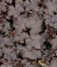 blackout heuchera