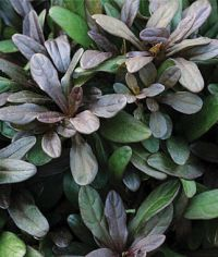 choclate chip ajuga