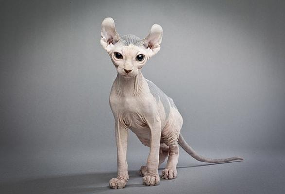 Какие бывают лысые кошки. Какие существуют породы лысых кошек — особенности внешнего вида, характер, уход