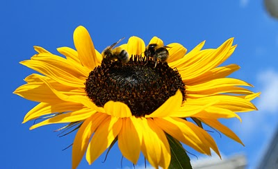 Sunflowers two bees