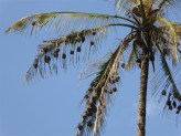 Weaver Birds Nests, Uluguru mountains