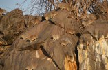 Hyrax warming up to the first sun rays