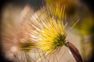 nature-pulsatilla-vulgaris-sasanka-zwyczajna-3925