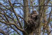 Jeune hibou grand duc au nid