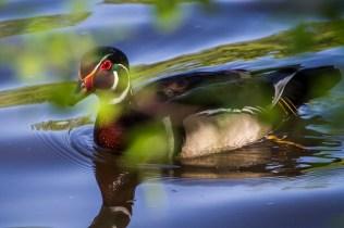 Tout près de moi, sur la rivière, un canard branchu joue à se cacher derrière les feuilles.