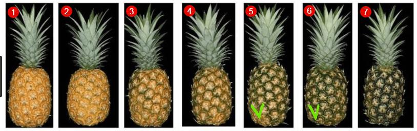 Tahap kematangan nanas bergantung kepada jangka hayatnya. Dalam foto di nombor 5 dan 6, janin telah dikeluarkan - anda boleh gunakan.